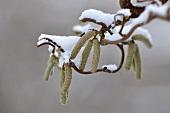Snowy hazel twig