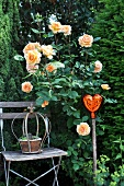 Apricot shrub rose, wooden chair and ornamental stake in garden