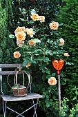 Apricotfarbene Strauchrose, Holzstuhl, Dekostecker im Garten