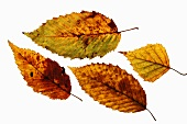 Four autumn leaves against a white background