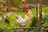 Rooster and hens in a farmyard