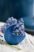 Blau gefärbte Eierschale gefüllt mit Traubenhyzinthe