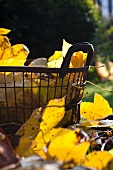 Autumn leaves and wire basket on lawn