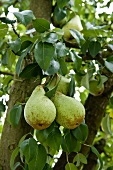 Pears on the branch