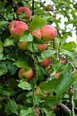 Many apples on a branch