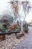 Tall aloes along a garden path