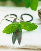Fresh mint with a pair of herb scissors