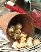 Grape hyacinth bulbs in a flower pot