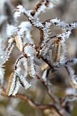 Hazel nut branch with hoarfrost