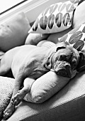 Boxer dog lying on sofa with a variety of scatter cushions