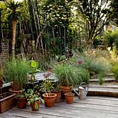 Ornamental grasses in terracotta pots on wooden deck of Mediterranean garden