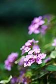 Purple Phlox in a Garden