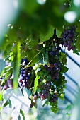 Blue grapes hanging on the vine