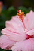 Pink Hibiscus Flower; Close Up
