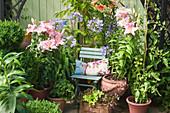 Lilien, Schmucklilien, Tomatenpflanze und Salat in Terrakottatöpfen auf einer Terrasse