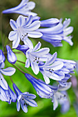 Flowering agapanthus (detail)