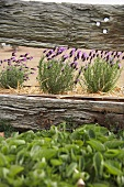View of flowering lavender through slats of weathered wooden fence