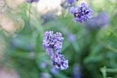 Flowering lavender (close-up)