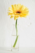 One gerbera daisy in a glass bottle