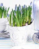 Grape hyacinths in decorative plant pot