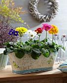 Primulas in plant pot