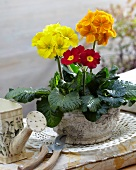Bright primulas in stone pot