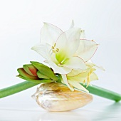 Flower arrangement with amaryllis