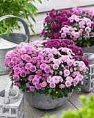 A variety of chrysanthemums in plants pots on terrace