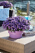 Blue asters 'Aspatio blue' in plant pot on garden table