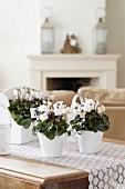 Cyclamen 'Bellissima white' on coffee table