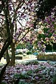 Flowering magnolia tree in gardens