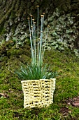 Ornamental grass in crocheted pot holder