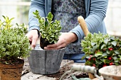 Woman potting a wintergreen plant (Gaultheria)