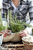 Woman wrapping pot of rosemary for winter protection