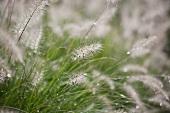 Fountain grass in rain