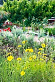 Flower bed with yellow, blooming Coreopsis and poppies with a gravel path and small trees in the background