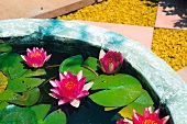 Water lilies at the edge of a water pool and gravel areas in the background