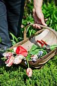 Tragekorb mit abgeschnittenen Tulpen im Garten