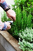Man cutting rosemary on roof terrace
