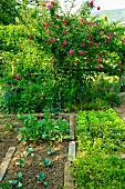 Heads of lettuce in vegetable patch and rose bush in garden