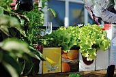 Lettuce and herbs in recycled drinks cartons