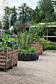 Raised beds of vegetables on gravel surface in garden