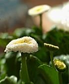 White bellis (close-up)