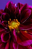 Yellow centre of purple dahlia
