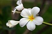 Lan Thom flower (frangipani)