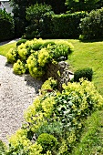 Pillows of lady's mantle next to gravel path in sunny garden