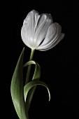 White tulip against black background