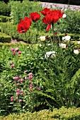 Rote Mohnblumen im Garten