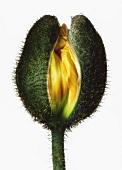 Poppy bud (close-up)