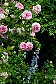 Rosafarbene Rose (Sorte: Blairii Nr. 2) und blauen Rittersporn